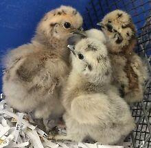 Chickens - Silkies (Bantams) Baldivis Rockingham Area Preview