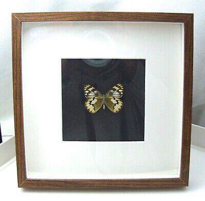 Jezebel Butterfly in wood effect box frame Delias schoenigi