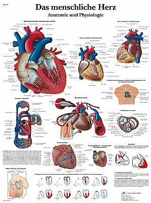 menschliches Herz Lehrtafel  Anatomie 50 x 67 cm Poster