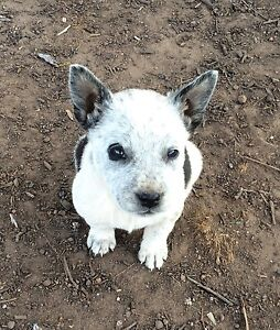 Cattle dog puppy Tara Dalby Area Preview