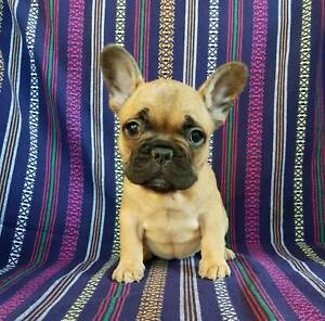 french bulldog in Wollongong Region, NSW | Pets | Gumtree Australia