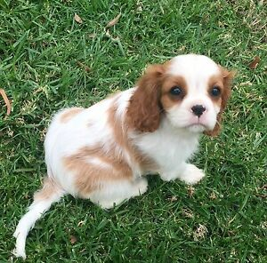 Male Cavalier King Charles Spaniel Smithlea Goondiwindi Area Preview