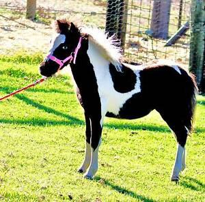 Mercedes - Miniature Pinto Filly TWO BLUE EYES - PLAN $212.50 Forest Grove Margaret River Area Preview