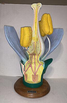 Vintage 1968large Dicot Anatomical Flower Model Carolina Biological Supply Co.