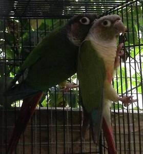 BREEDING PAIR CINNAMON/YELLOW SIDED CONURES Launching Place Yarra Ranges Preview