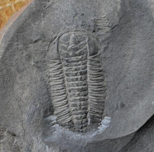 Beautiful Triarthrus eatoni Trilobite Fossil, St Lawrence River, Quebec, Canada