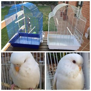 Baby female lacewing budgie : Brand new cages for sale Kellyville The Hills District Preview
