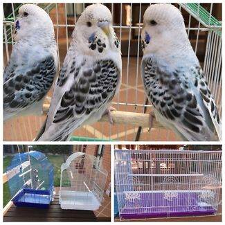 Opaline Texas clearbody Baby budgies