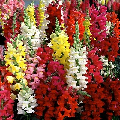 0 2G  App 1400  Common Snapdragon Seeds Antirrhinum Majus Stunning Bright Colors