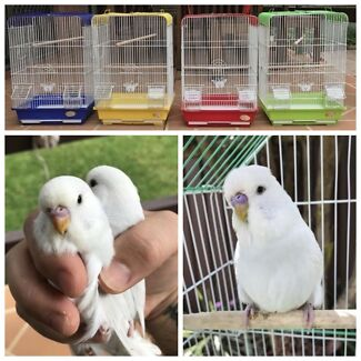 Dilute baby Budgies & 1 young adult; New Cages