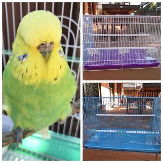 Adult show female budgie $30: New Flight cages $45