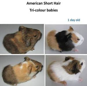 Baby guinea pigs for sale Comboyne Port Macquarie City Preview