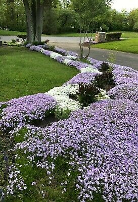 - 9 Perennial Creeping Phlox Lavender Live Bare Root Healthy 2 Yrs Old Plants