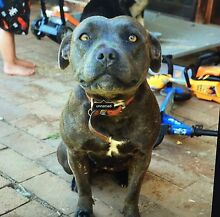 Female Blue Staffy Woodford Blue Mountains Preview