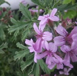 Lemon scented leaf Geranium / Pelargonium Repels Mosquitos OFFERS Pakenham Cardinia Area Preview