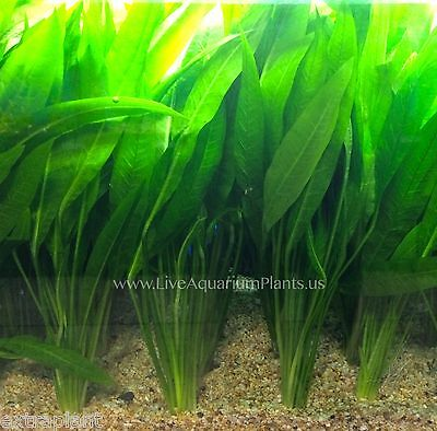 Amazon Sword Bunch Echinodorus Bleheri Live Aquarium Plants BUY2GET1FREE*