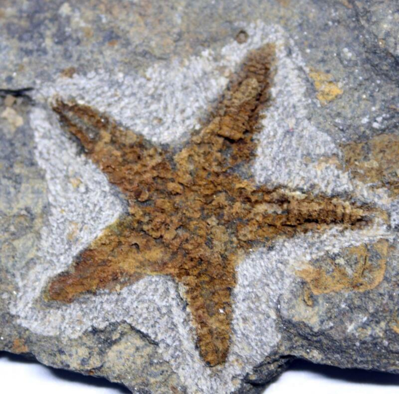 Starfish Fossil Ordovician 450 Million Years Ago Morocco #16483 5o