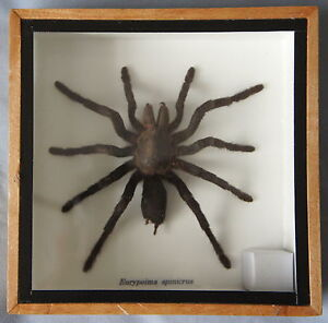 REAL-TARANTULA-SPIDER-EURYPELMA-SPINICRUS-MOUNTED-IN-WOODEN-FRAME-OR-BOX