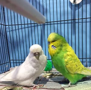 Gorgeous proven English budgies