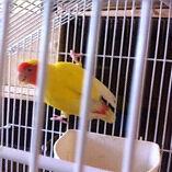 Yellow proven hen lovebird Dandenong Greater Dandenong Preview