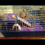 Young guinea pig, cage, accessories