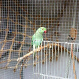 Indian Ringnecks & Aviary Caboolture Caboolture Area Preview
