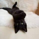 Black Bombay Kitten