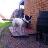 Make an offer! American Bulldog x Roman nose Bullterrier Yandina Maroochydore Area Preview