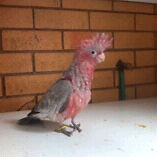 Galahs for sale Woolgoolga Coffs Harbour Area Preview