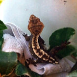 trade my  crested gecko for a frog