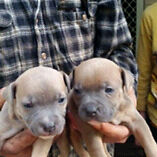 English Staffordshire Terriers Ulong Coffs Harbour Area Preview
