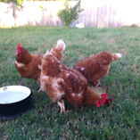 3 laying hens with chicken feed Durack Brisbane South West Preview
