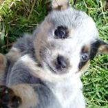 Blue heeler puppies!