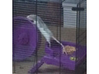 Small pet fancy rat with cages free to good home