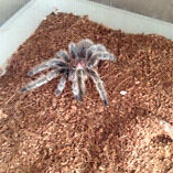 Rose hair tarantula