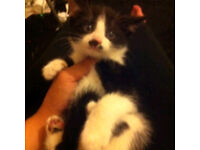 Beautiful 8 wks old black and white kitten for sa
