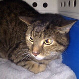 Found tabby cat  Yanchep Wanneroo Area Preview