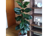 Large plant for sale to be collected today