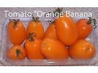 """Tomato Plants """"Orange Banana"""" in 9 cm Pots £1.00 each Hardened off ready to Plant Out"""