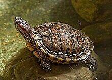 Tank aquarium turtles