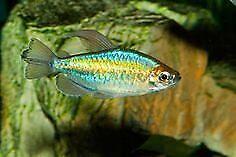 LARGE CONGO TETRAS (TRIO) TROPICAL FISH