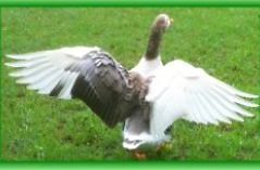GEESE RESCUE GEESE NEED A FOREVER SAFE HOME WITH BIG DAM NO MEAT Logan Reserve Logan Area Preview