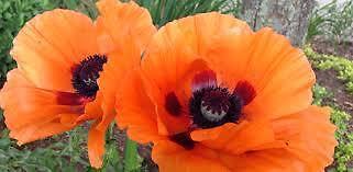 Orange Poppy Fashion