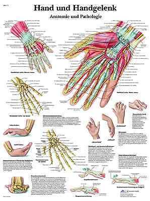 Hand und Handgelenk Lehrtafel  Anatomie 50 x 67cm Poster