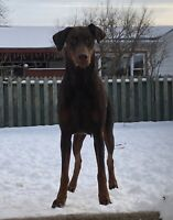 Red Doberman Puppies MICROCHIPPED