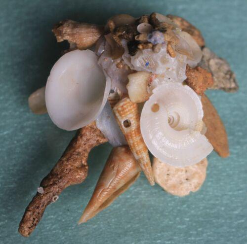 Sea shells xenophora cerea rare 88mm caught in Bohol Sept 159 2021