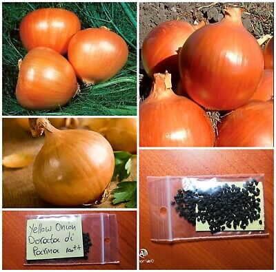 Yellow Golden Onion ''Dorata di Parma'' ~100++ Top Quality Seeds - Professional