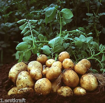 PFLANZKARTOFFEL 5 kg LINDA Pflanzkartoffeln zertifizierte Saatkartoffeln
