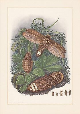 ris noctiluca Farbdruck 1959 Johannisglühwürmchen Leuchtkäfer (Leuchtkäfer, Insekt)