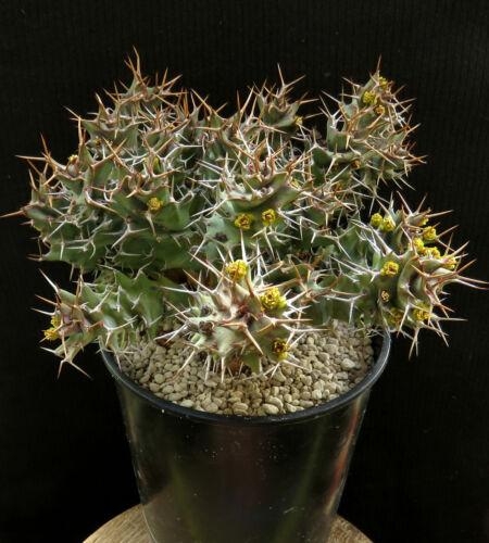 Euphorbia tortirama,Caudex,Euphorbia,Bulb